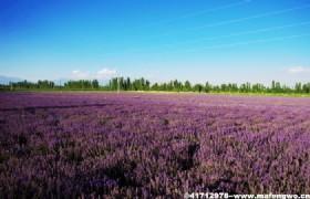 Huocheng Lavender Fields