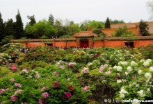 Enjoy Peonies in Beijing Jingshan Park