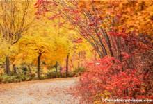 The Beautiful Birch Forest in Autumn Beijing