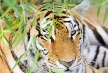 Harbin's Charming Siberian Tiger Park