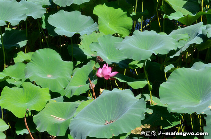 Summer Lotus in Old Summer Palace