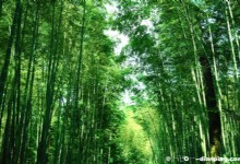 Yunxi Zhujing Scenic Resort – Dense Presence of Bamboo Trees All Over