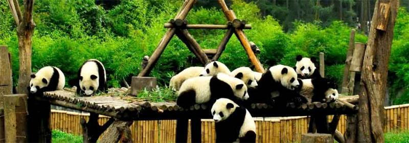 6 Days Bifengxia <b>Panda Volunteer</b> Program