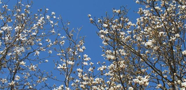 White Magnolias Blossoming Across Beijing