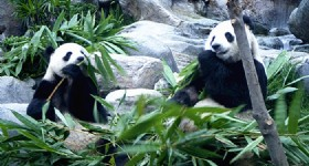 World's First Panda-Themed Park to be Built in Chengdu