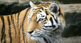 Footprints of Endangered Manchurian Tiger Found in Heilongjiang