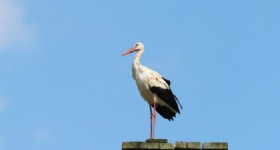 Endangered Oriental Stork Seen in Naolihe Reserve NE China