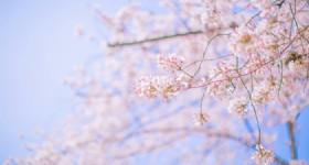 2019 Shanghai Cherry Blossom Festival