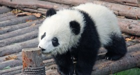 "Airline Adopts Baby Panda to Spread ""Panda Culture"""