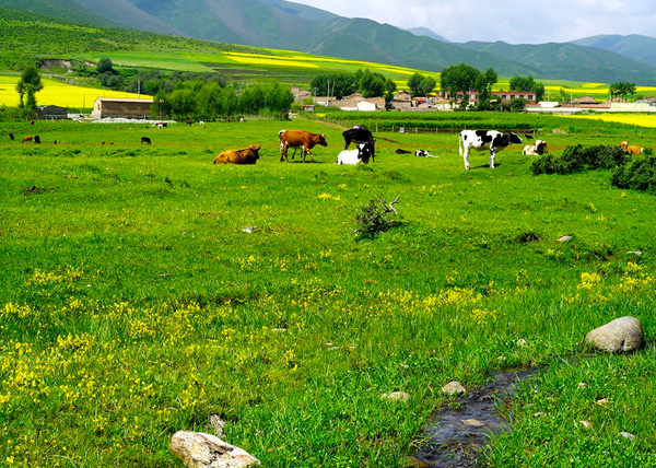 Qilianshan-Grassland-in-summer