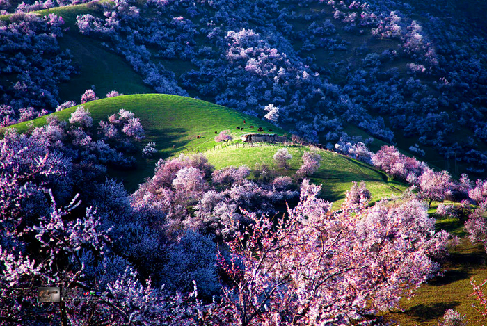 yili-apricot-valley