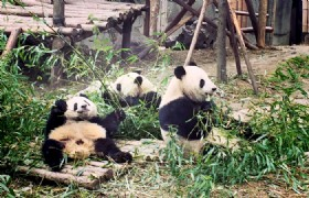 China Fascinating and Lovely Panda 12 Days