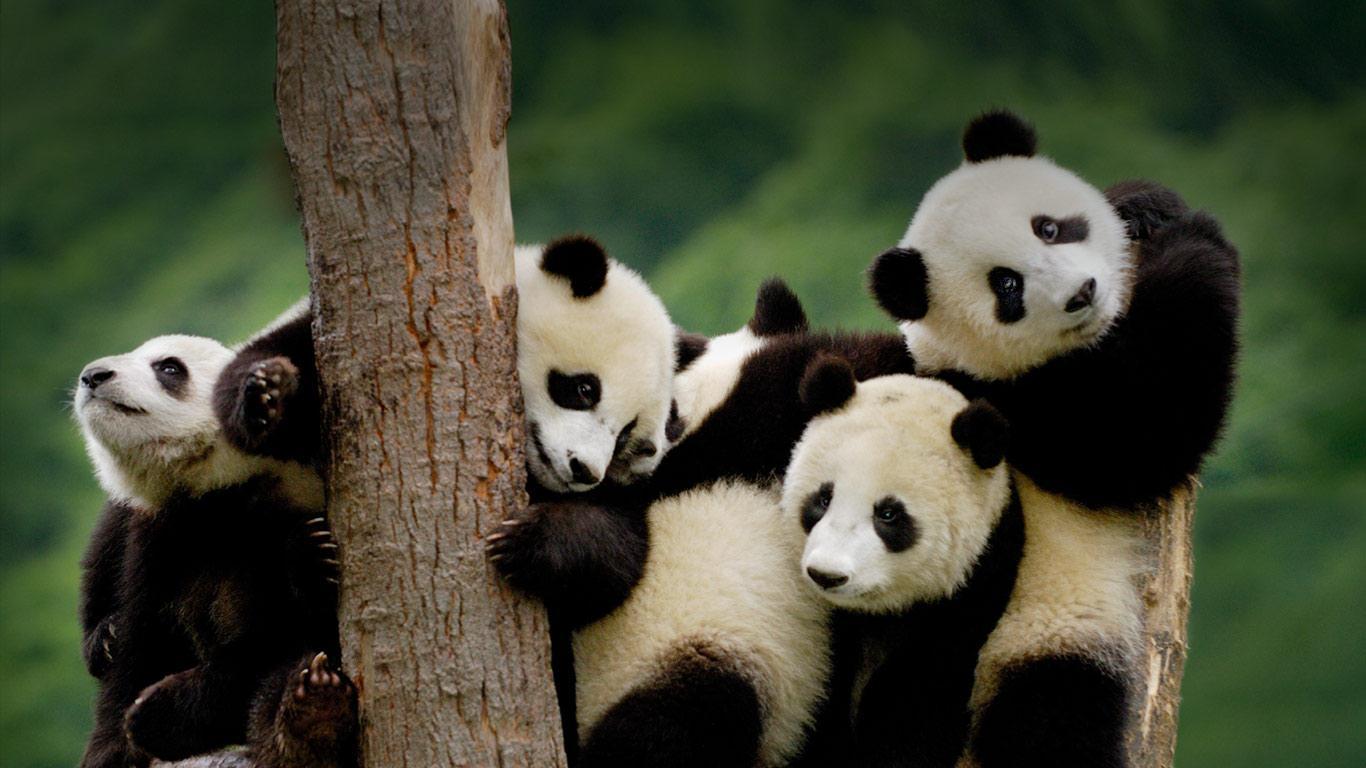 Home Of Panda Ancient Tea Route 4 Days Tour