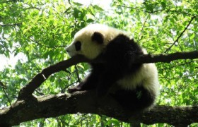 Panda Discovery in Bifengxia & Chengdu Highlights 4 Days Tour