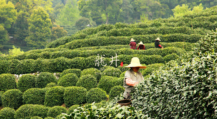 Longjing Tea Cultural Villages