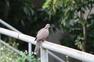 Pigeon copy.jpg